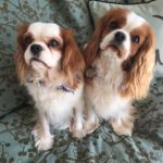 King Charles Spaniels Cameo and Kipper welcomed Jill Ducatman home from surgery.
